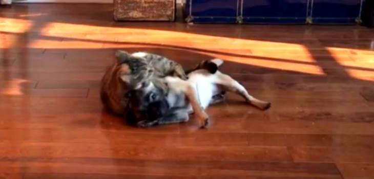 cat vs dog mma
